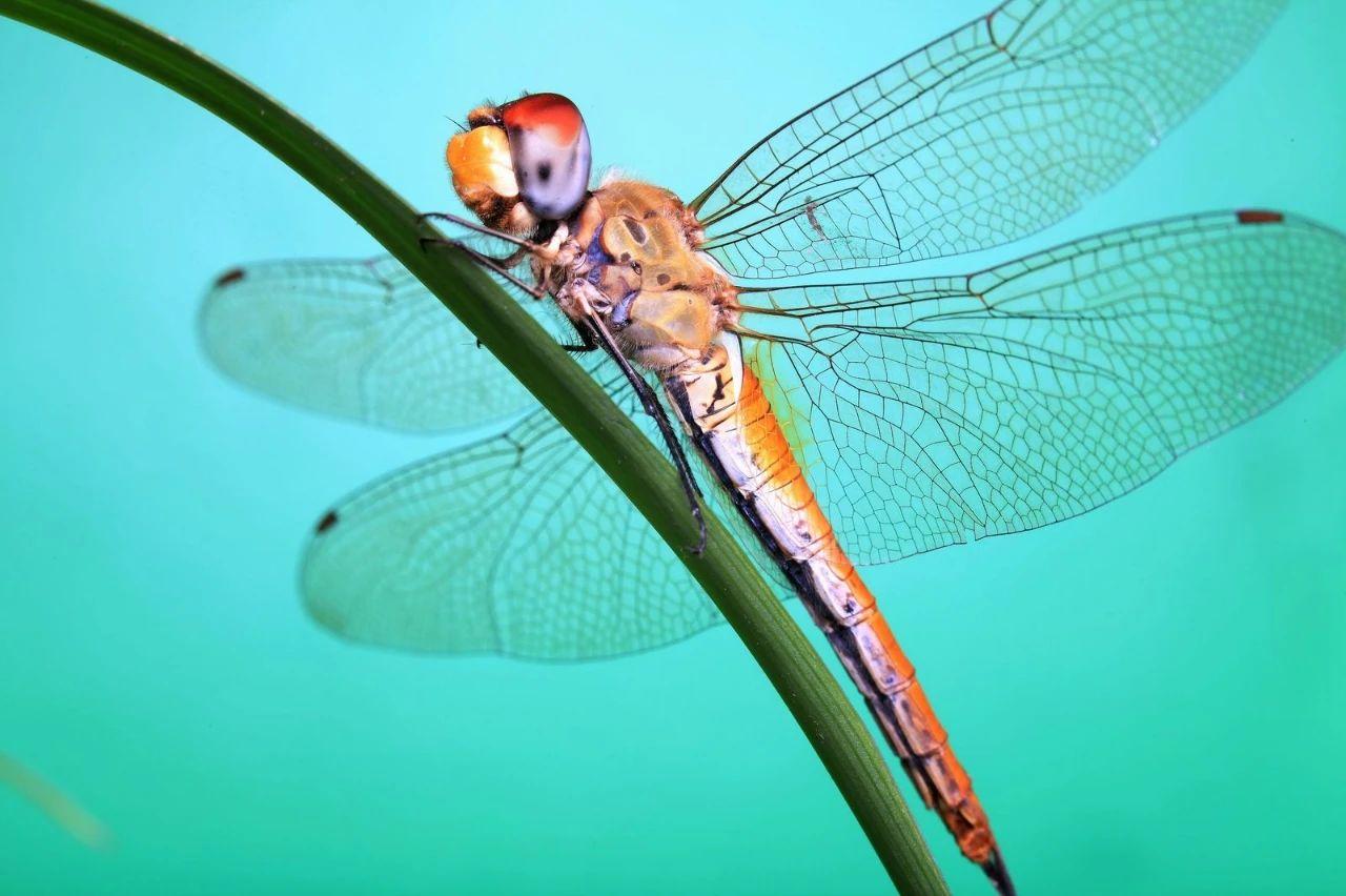 蜻蜓翅膀可以天然杀菌!纳米柱介导细菌包膜变形与渗透过程